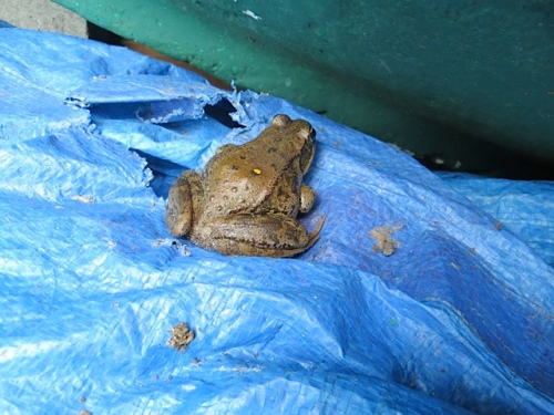 a big frog on a tarp that I needed to gather rose debris
