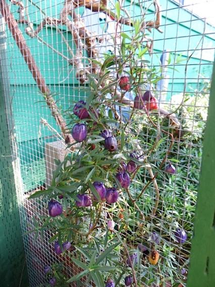 and the gorgeous berries of Billardia longifloria on the front garden arbour