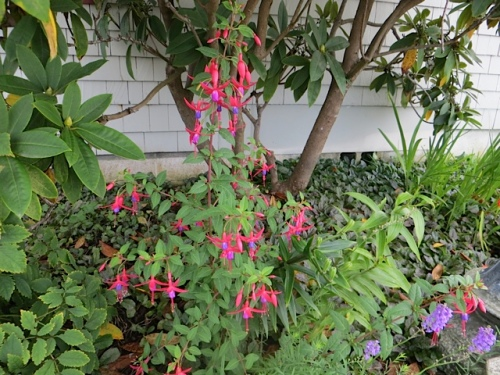 need more hardy fuchsias on north side of city hall