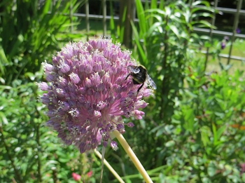 elephant garlic with bee