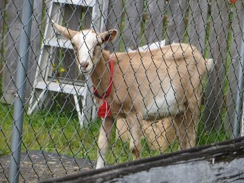 and the goat next door