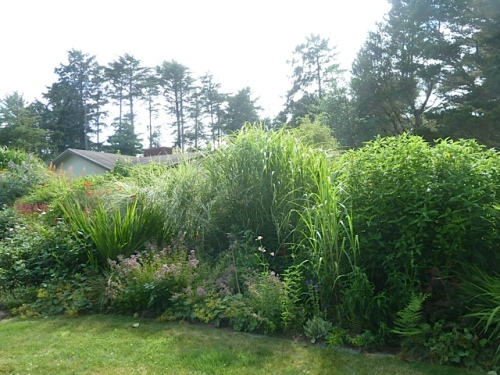 giant miscanthus by the lawn hiding the neighbours' house