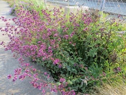 I love the 'Hopley's Purple' oregano.
