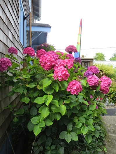 hydrangea by entry way