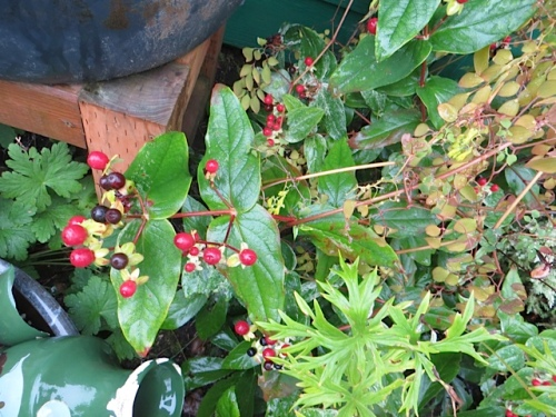 Hyericum berries by the front stairs