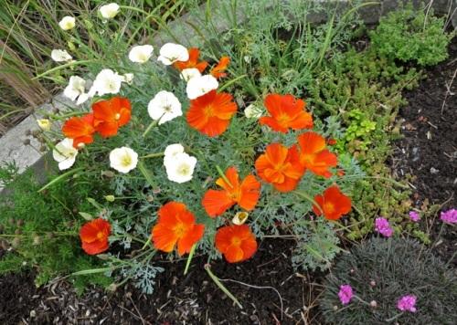 Allan's photo, California poppies