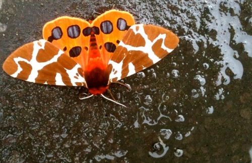 a moth in one of Allan's watering puddles