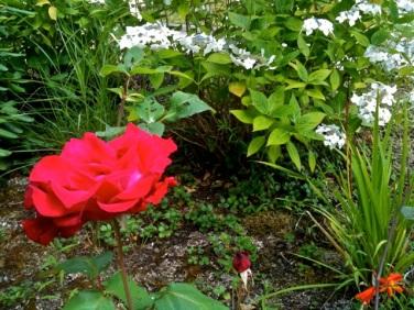 one of my mom's rosebushes