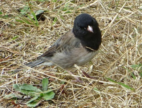 This little junco was pecking around when we drove up on the rough grass next door.