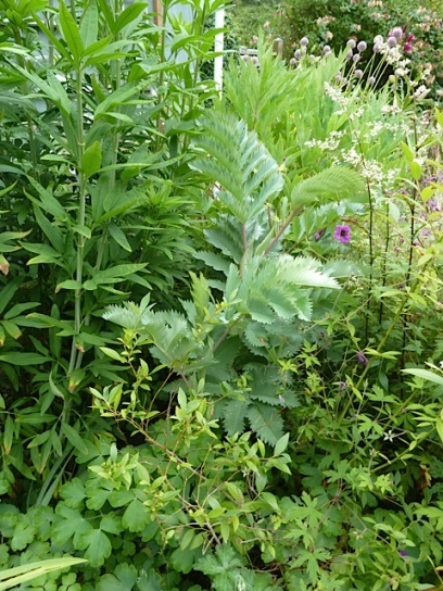 Melianthus major, so small compared to last year because it died all the way back in the winter.