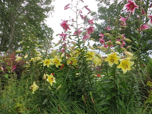 lilies; the yellow are 'Conca D'Or'