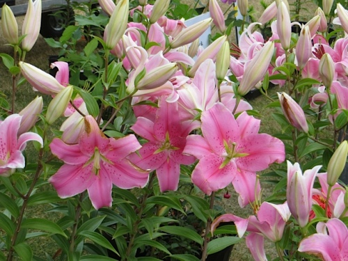 potted lilies for sale