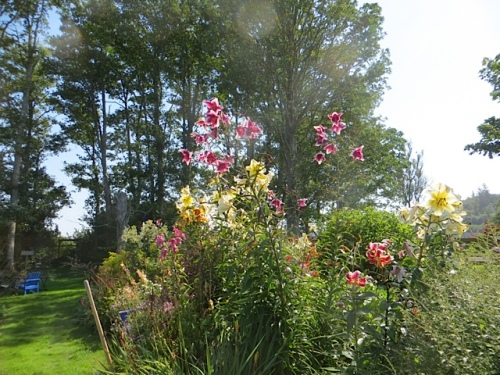 Irene was gratifyingly impressed with my tall lilies.