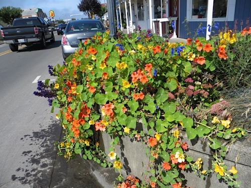 lots and lots of nasturtiums in the Home at the Beach planter...