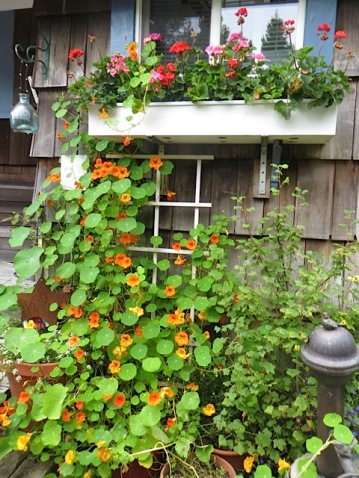 nasturtiums climbing all the way to the highest windowbox