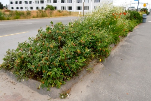 rugosa roses trimmed back to the edge