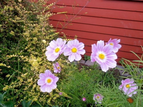 Cosmos 'Happy Ring', Allan's photo