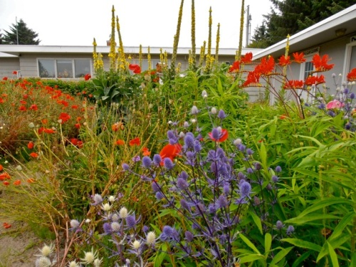poppies, Eryngium, Verbascum (Allan's photo)