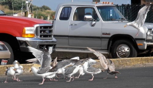squabbling gulls