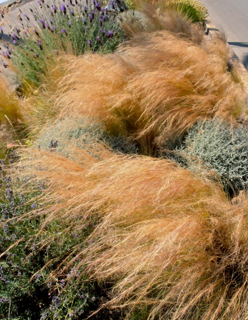 Stipa tenuissima in a curbside garden by Howerton Way