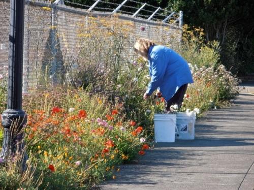 me deadheading daisies (Allan's photo)