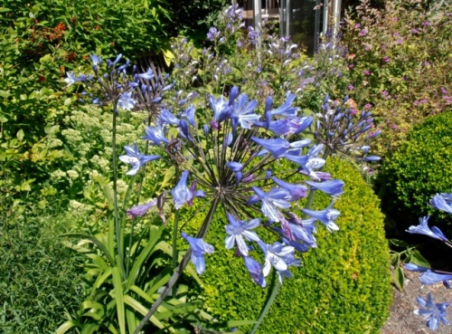 Allan was quite taken with the agapanthus (like a blue allium, quoth he)