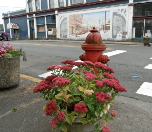 a leftover planter from a closed business, NE corner of Spruce and First, thriving with regular water (Sedum 'Autumn Joy')