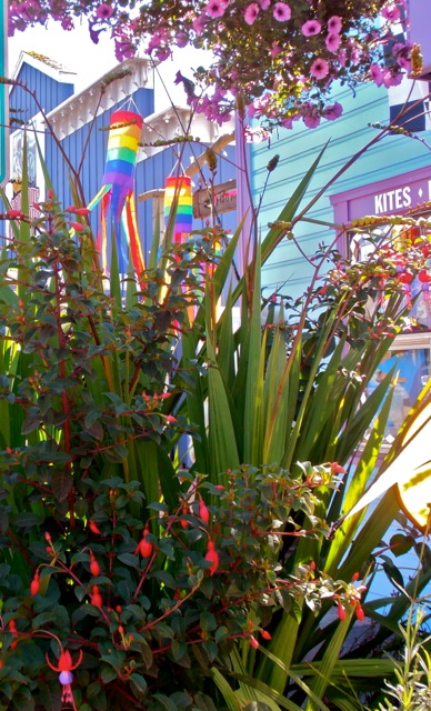 Fuchsia in planter by Wind World Kites (Allan's photo); the kite guy likes the Crocosmia 'Lucifer' so it stays in this one.