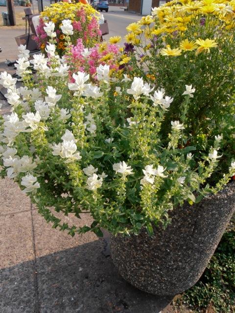 white painted sage (Salvia viridis)