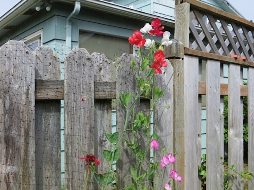 sweet pea success by the Garden Suite (north side fence)