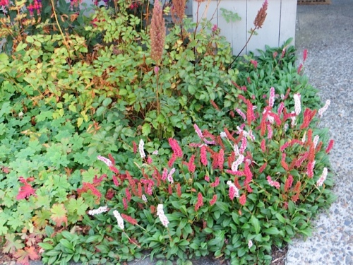 I'm going to get me some of this persicaria in the fall for my garden and for an edger at Larry and Robert's garden.