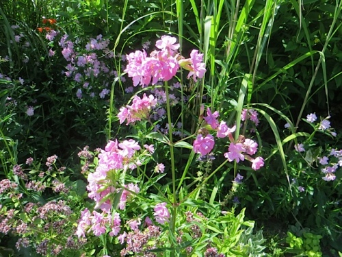 I can't recall where I got this wonderful, slightly thuggish pink...phlox? that the deer do not eat.
