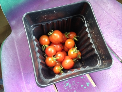 Despite their sad appearance, the tomato plants produce a bounty every day.