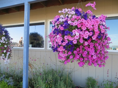 garden and Basket Case hanging baskets at the port office