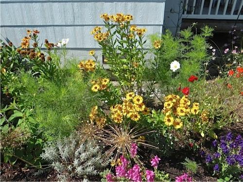 Helenium, painted sage, Alliums, santolina, cosmos