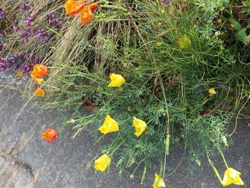 still some California poppies