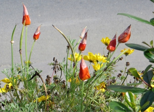 The little caps on California poppy blossoms were a cheering sight.