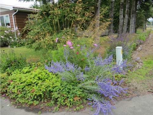 the driveway corner with Perovskia and Stipa gigantea