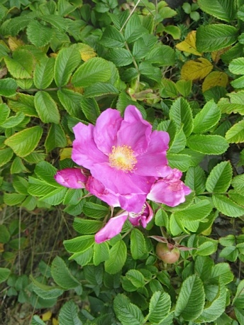 single pink