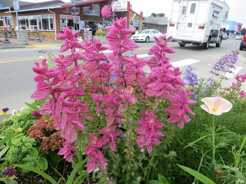 Painted sage comes in pink, white, and blue.