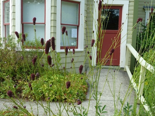 And they aren't eating the sanguisorba near the front door either...