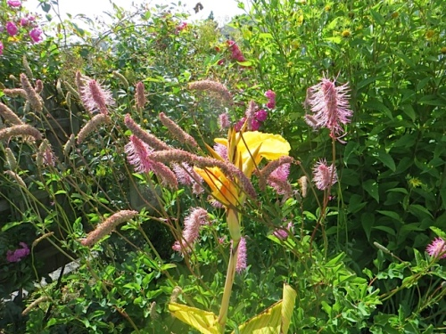 Sanguisorba and Canna flowers in Fifth Street Park
