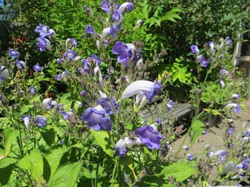 Strobilanthes atropurpureus, a late blooming hardy perennial