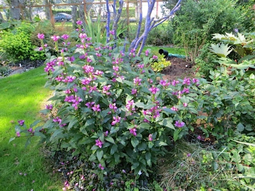 """Jo was very taken by the Chelone (pink turtlehead) and asked """"Why don't I have one of these?"""""""