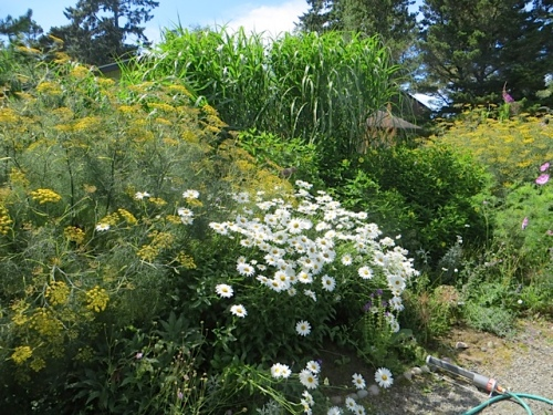 looking west...thuggish bronze fennel, daisies, tall Miscanthus