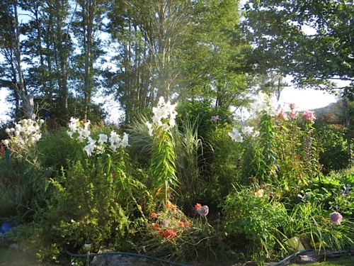 admired white lilies in the back garden