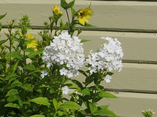 a bit of white phlox on the west side (with H. 'Lemon Queen, very short from being dry)