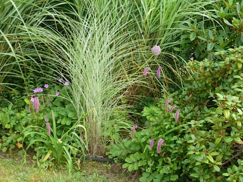 in the ornamental grass garden near the street