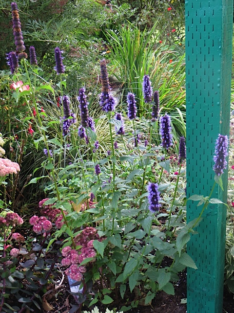 Agastache 'Blue Boa' or maybe 'Blue Fortune' from The Basket Case