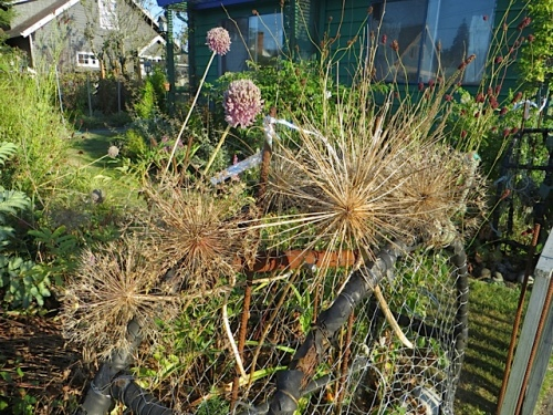 In the front garden: the crab pot fence proved to be a good spot for displaying broken off alliums.